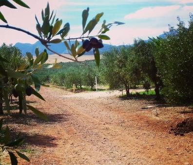 olive farm 3