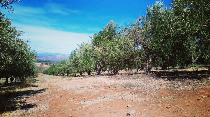 olive farm 5