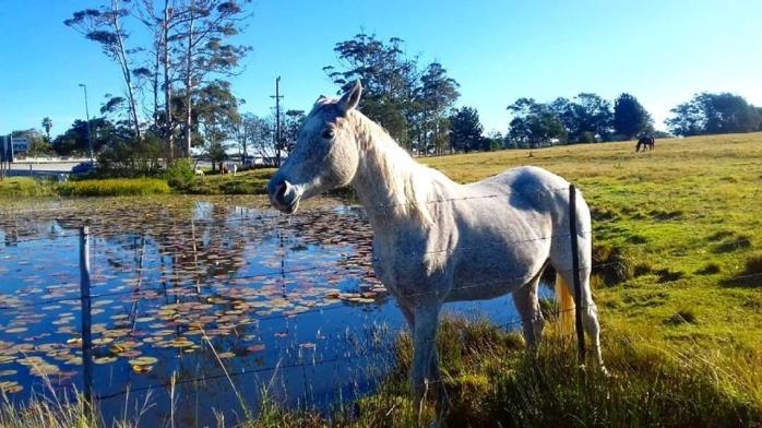 a horsie