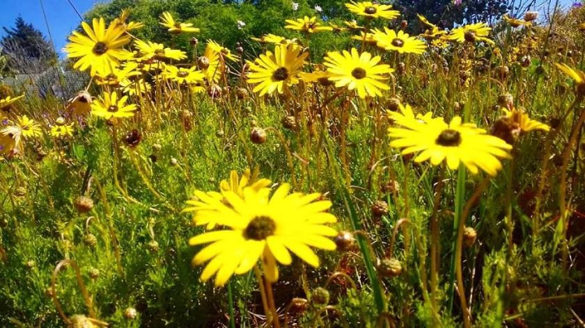 fields of bright daisies