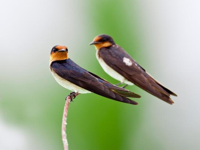 pixabay swallows