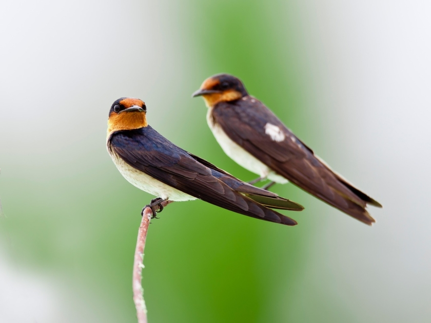 pixabay swallows