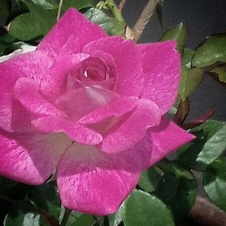 silent sunday rose