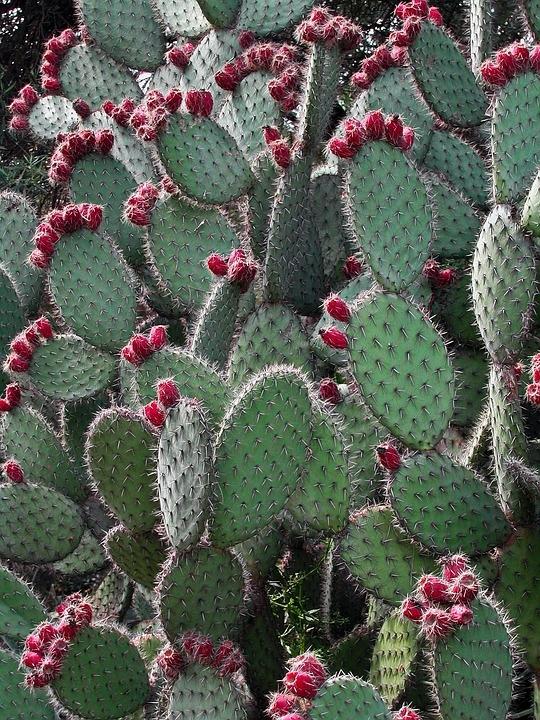 cactus'