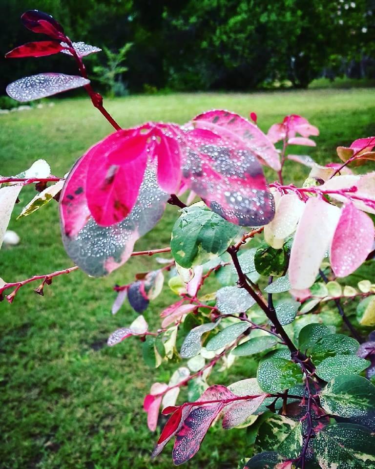 icecream bush