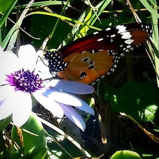 monrch butterfly