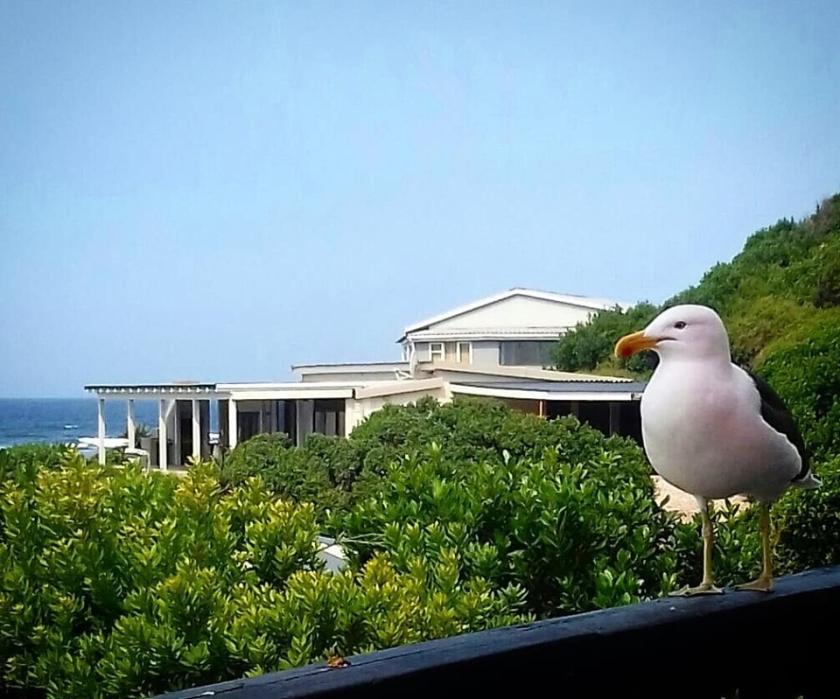 seagull buffles