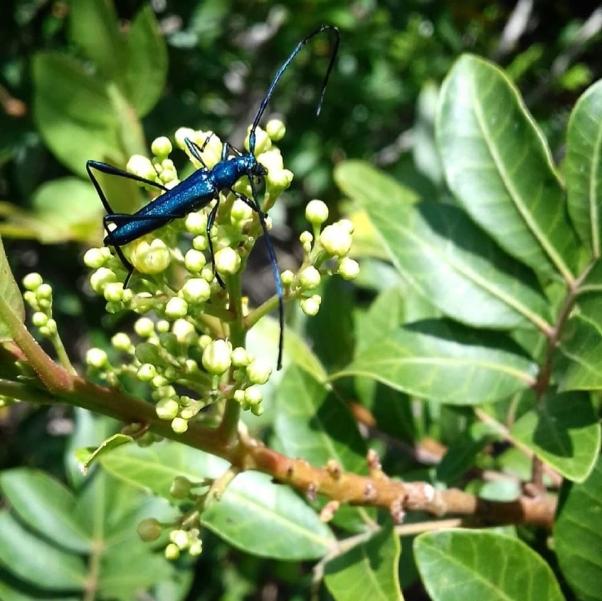 indigo bugs