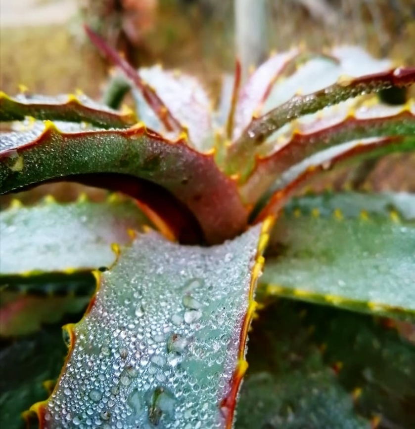 aloes 2